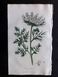 Cox Medical Botany 1822 Hand Col Botanical Print. Common Carrot 34